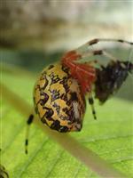 spider on milkweed
